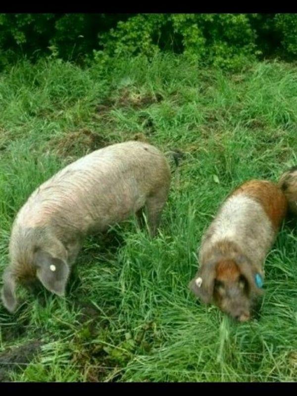 Schweine Schweineleasing Patenschweine