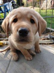 Labrador Welpen Labrdorwelpen