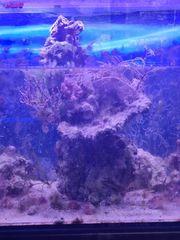 Lebendgestein Säule mit Korallen
