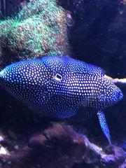 Korallen Fisch Mirakelbarsch altivelis RESERVIERT