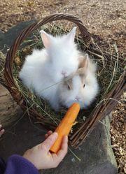 Zwergkaninchen Kaninchen Teddyzwerge