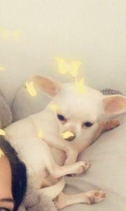 Chihuahua Hündin 20 Monate - perfekt