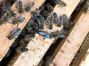 Ab sofort Bienen Bienenvolk Jungvölker