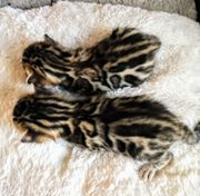 Bengale Kitten sehr verschmust