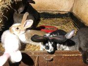 Hasen Kaninchen Riesen Schecke Babys