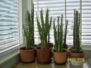 Verkaufe Western Kaktus 0 80 m