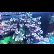 Meerwasser SPS LPS Korallenableger