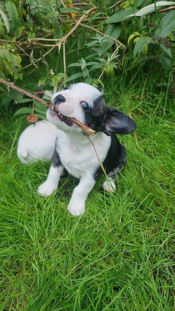 Französische bulldogge/Chihuahua Mix Welpen