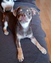 Chihuahua Hündin 5 Monate weiblich