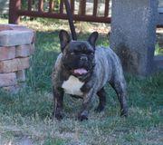Französische Bulldogge FCI