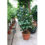 - Der Ficus Elastica - Indischer Gummibaum