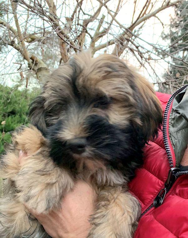 Tibet-Terrier Welpe