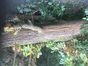 Eichenstamm umgefallener Baum