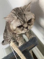 Wurfankündigung Katzenbabys Jetzt Reservieren und