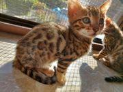 Reinrassiges Bengal-Kitten