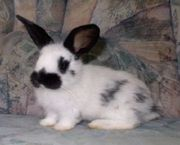 Kaninchen Deutsche Riesenschecken suchen ein