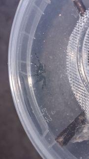 Caribena Versicolor Spiderlinge zu verkaufen