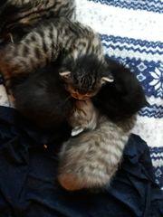 Katzenbabys Kätzchen abzugeben