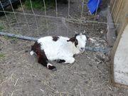 Verschiedene Süße junge Ziegen Böcke