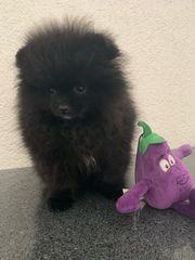 zwergspitz Pomeranian welpen