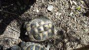 Griechische Schildkröte von 2011