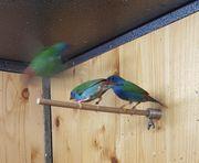 Vögel Kubafink Forbes Papageiamadine Schmetterlingsfink