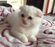 champion Scottish fold Kätzchen