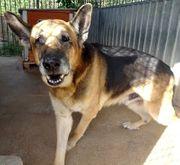 REXSchäferhund menschenbezogen er lieber Kerl