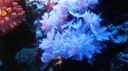 Meerwasser Korallen Ableger Einsteiger-Set