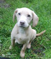 Mini Labrador French Labbi Welpen