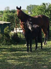 Suche Beistellpony Pferd