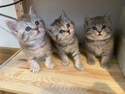 BKH Kitten suchen nach liebevollem