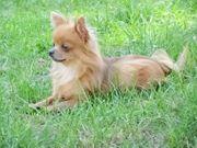 Chihuahua - Jungrüde - 2 Jahre abzugeben