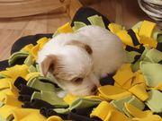 Yorkshire Terrier Rüde Golddust Weiß