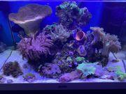 Meerwasser Aquarium Korallen Fische