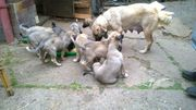 Verkaufen Kangalwelpen