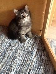 Norwegische Waldkatze Kitten - weibl Katzenbaby