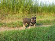 Französische Bulldogge in Black and