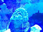 Korallen Meerwasser Salzwasser Korallenableger