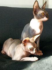 sphynx kitten 8 Monate alt