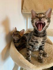 Süße und wunderschöne Bengal Kitten