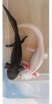 Axolotl Wasserdrachen aus eigener Nachzucht
