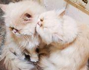Perser Paar 6 Jahre alt