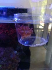 Kupferanemone Entacmaea quadricolor