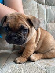 Französische Bulldogge Fawn Rude