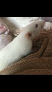 Ratten Rudel
