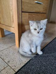 Bkh kitten ein kater sucht