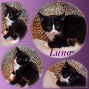 Wunderschöne Baby Katze Kitten Luna