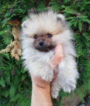 Pomeranian Boo 100