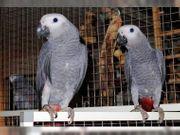 1 1 graue papageien vom